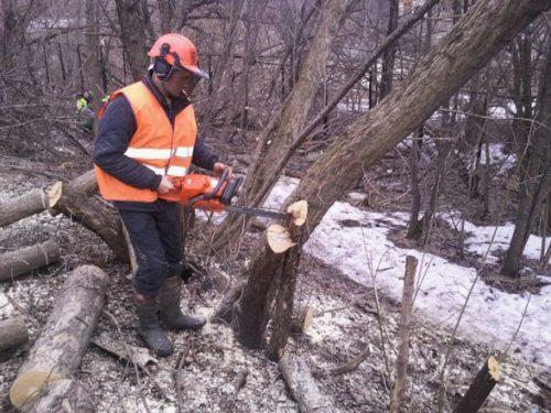 Как завалить небольшое дерево бензопилой